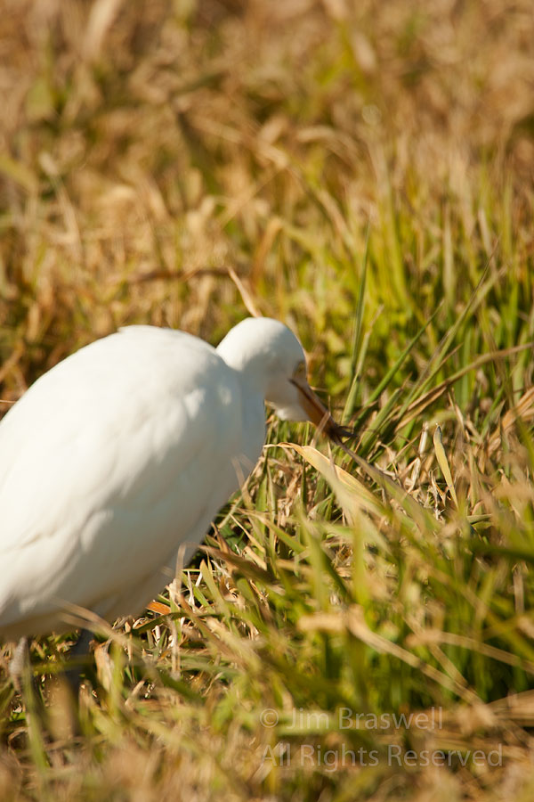 Cattle Egret catching insect