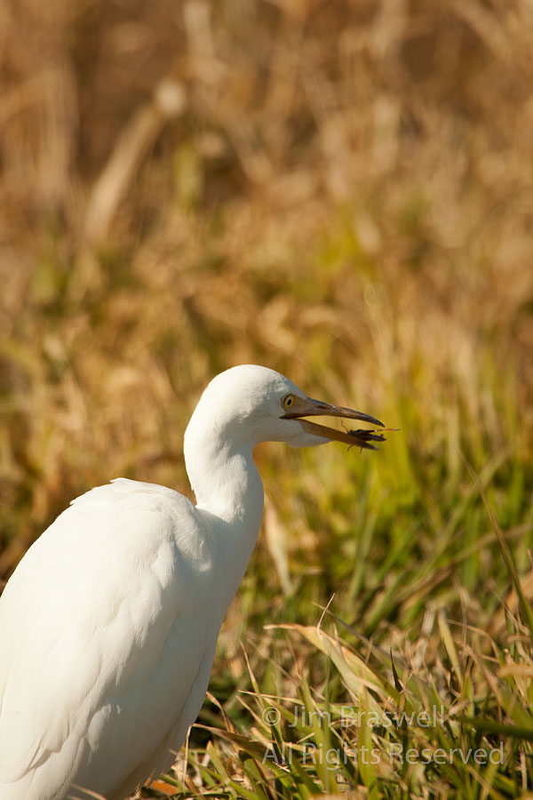 Cattle Egret with insect