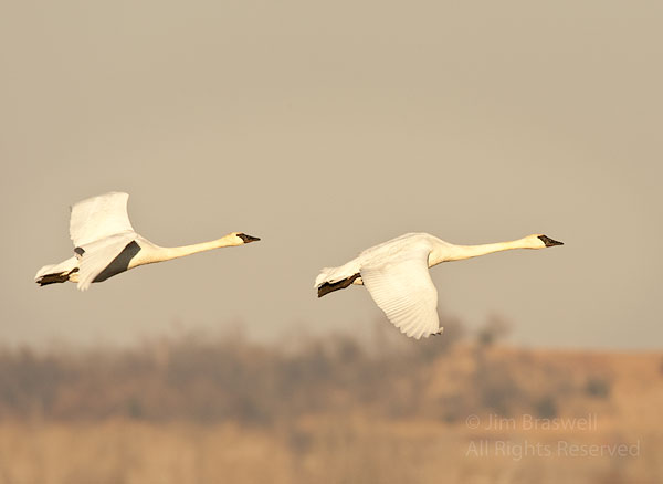 Today's post begins the week with some images of Trumpeter Swans (Cygnus buccinator) that I captu...