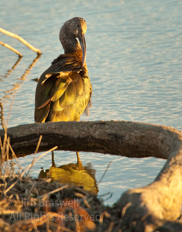 Juvenile White-Faced Ibis preening