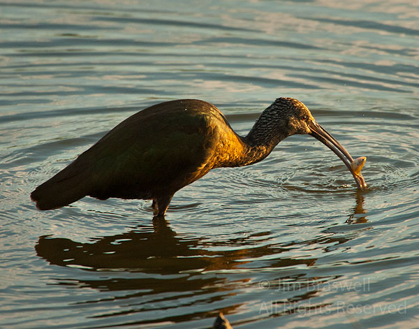 Juvenile White-Faced Ibis with fish in mouth