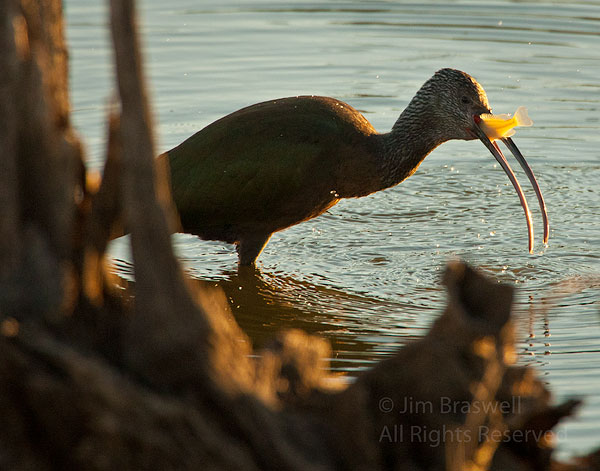 Juvenile White-Faced Ibis with fish