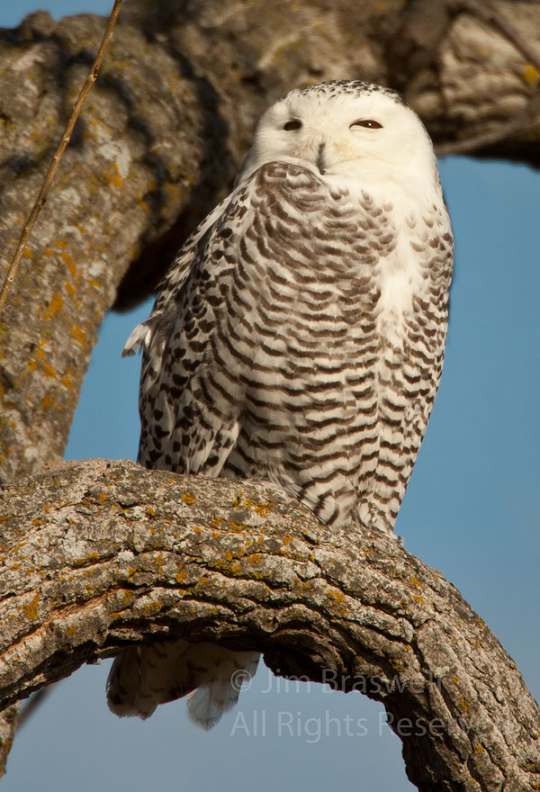 Snowy Owl sitting in a tree