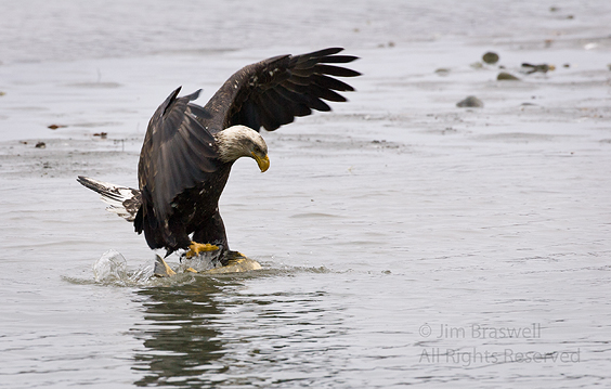 Bald Eagle catching salmon