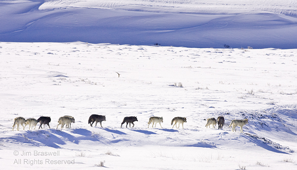 Druid Wolf Pack traveling in the Lamar Valley