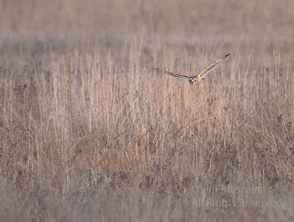 Short-Eared Owl hunting over the prairie
