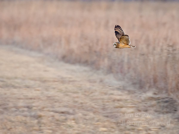 Short-Eared Owl flying over the prairie