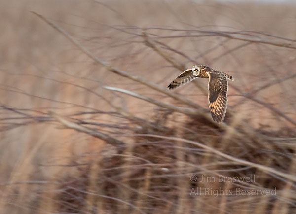 Short-Eared Owl hunting around a brush pile