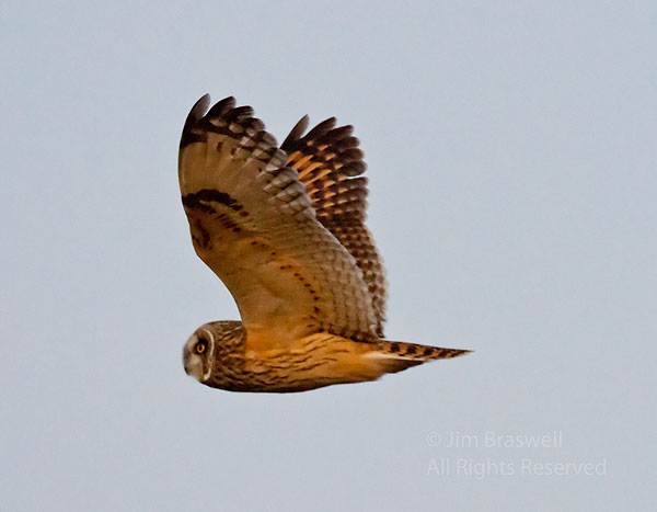 Short-Eared Owl flying by me in the prairie