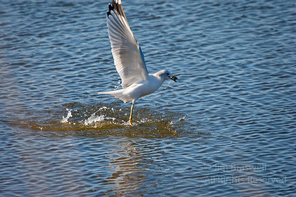 Ring-billed Gull fishing