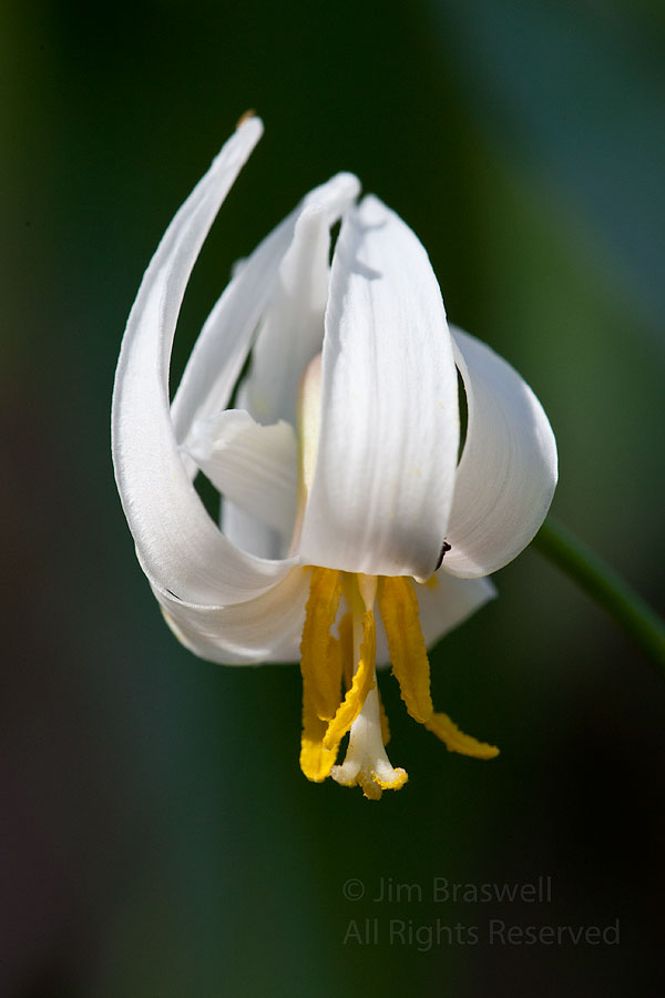 Dog-toothed Violet (Trout Lily)