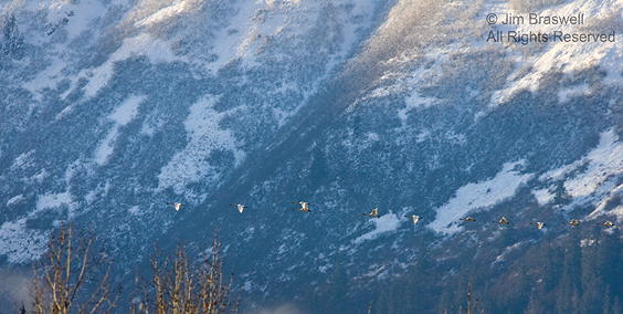 Trumpeter Swans flying in Chilkat River Valley