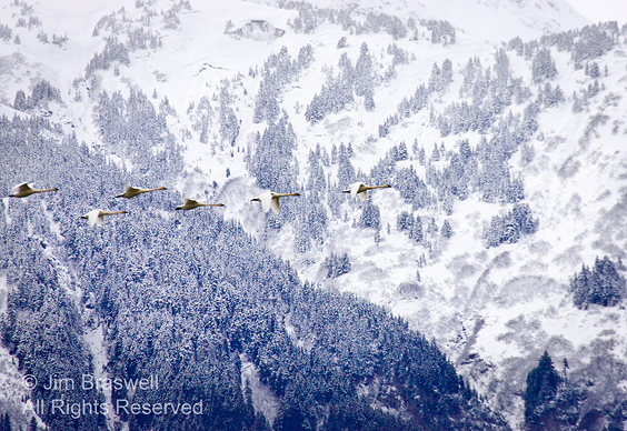 Trumpeter Swans flying in the Chilkat River Valley