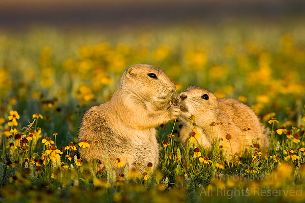 Black-tailed Prairie Dogs in a cute pose