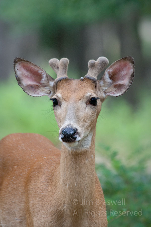 White-tailed buck with velvet antlers