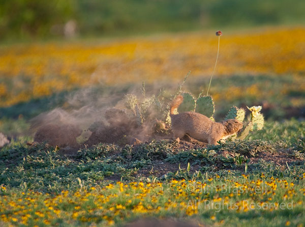 Black-tailed Prairie Dog pups playing in the dust