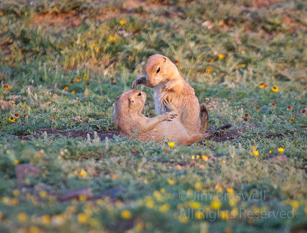 Black-tailed Prairie Dog pups playing