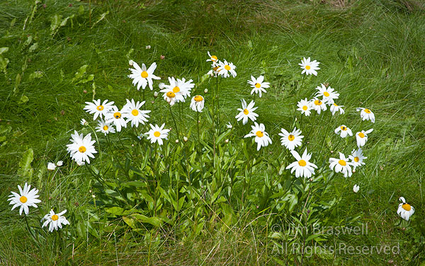 Looking For Alaska Daisy: Show Me Nature Photography