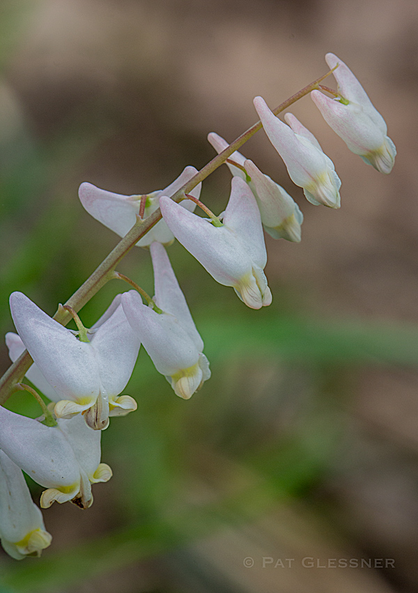 Dutchman's Breeches wildflowers