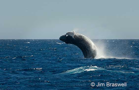 The Acrobatic Humpbacks of Baja (Mexico)